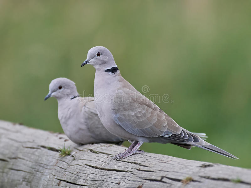 Eurasian collared dove (Streptopelia decaocto) stock images