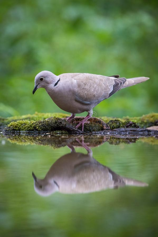 The Eurasian Collared Dove or Streptopelia decaocto is sitting at the waterhole royalty free stock photography