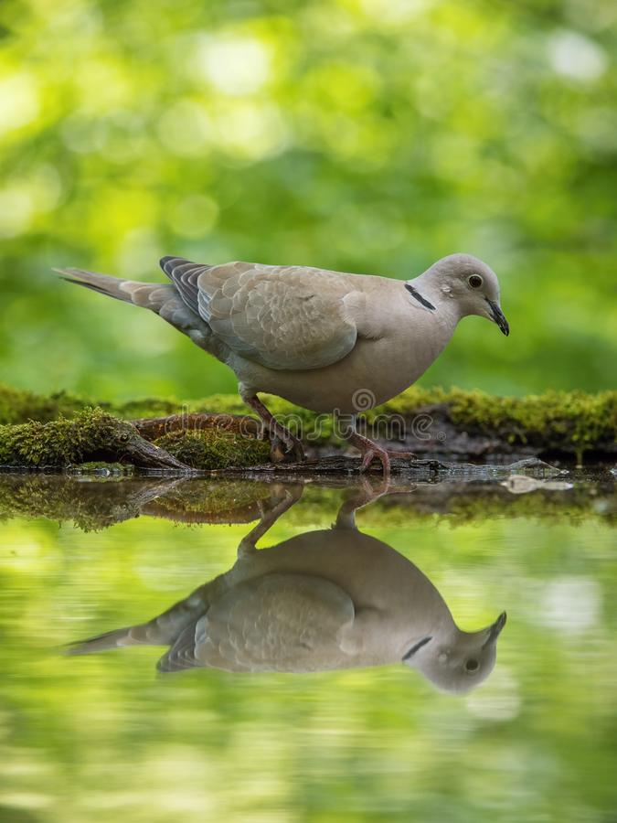 The Eurasian Collared Dove or Streptopelia decaocto is sitting at the waterhole royalty free stock photos