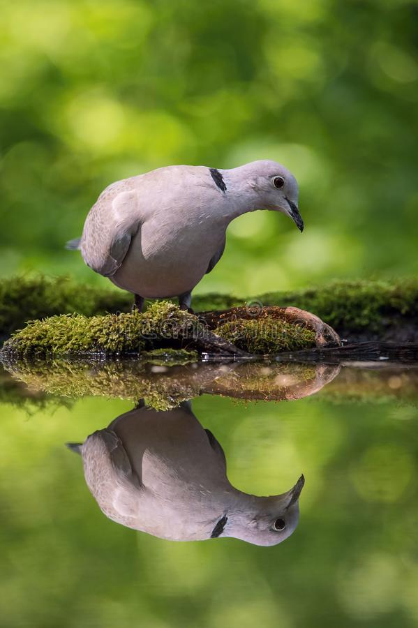 The Eurasian Collared Dove or Streptopelia decaocto is sitting at the waterhole stock photography