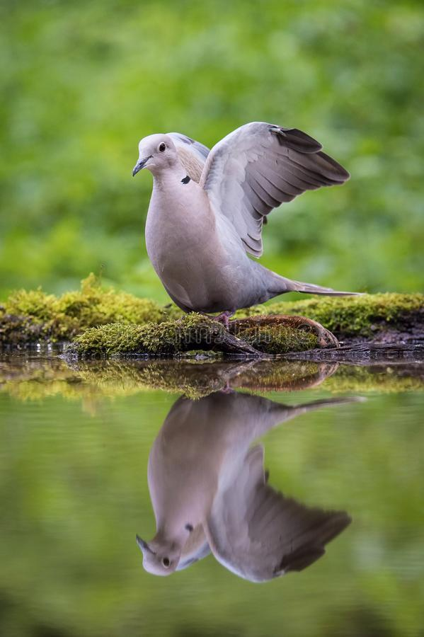 The Eurasian Collared Dove or Streptopelia decaocto is sitting at the waterhole stock images