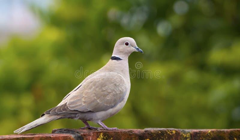Eurasian Collared Dove ( Streptopelia Orientalis) royalty free stock images