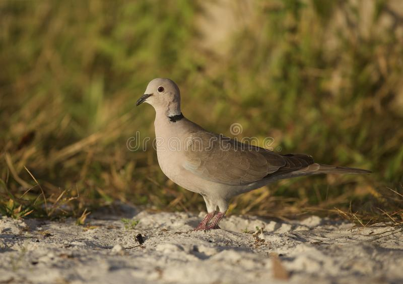 Eurasian Collred Dove på stranden royaltyfri bild