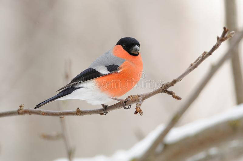 Eurasian bullfinch sits on a branch of a wild apple tree on a cloudy day. Eurasian common bullfinch Pyrrhula pyrrhula sits on a branch of a wild apple tree on a stock photography