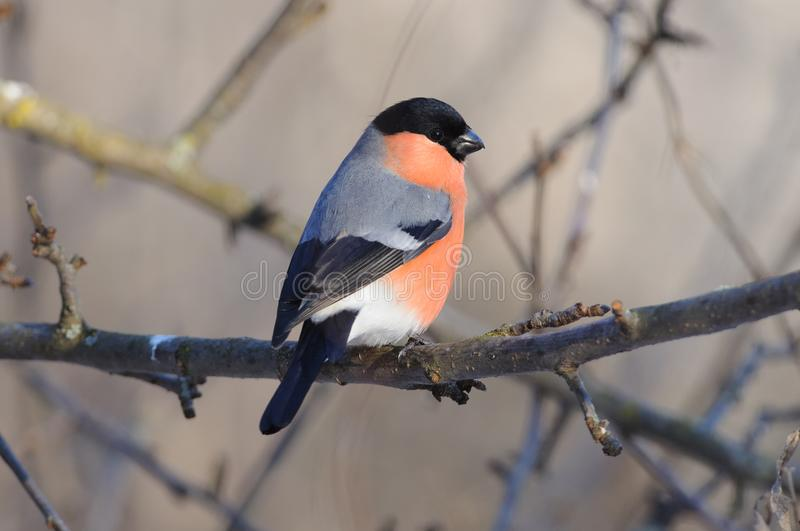 Eurasian bullfinch sits half-turned on the apple tree branch sun reflect in eye. stock photography