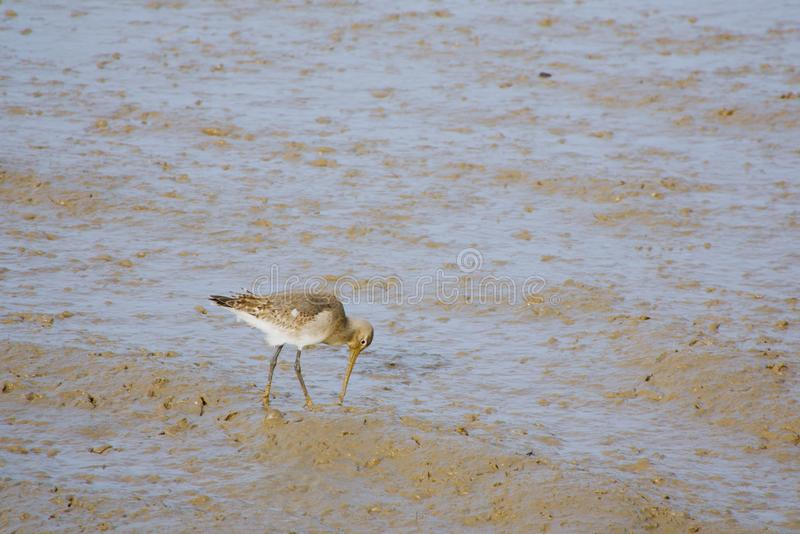 Black tailed Godwit feeding at low tide. stock photography