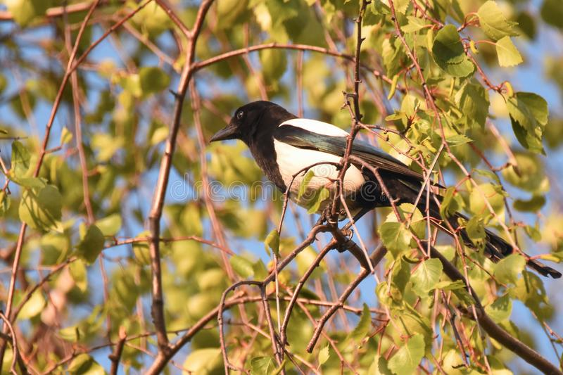 Eurasian or Common magpie Pica pica stock image