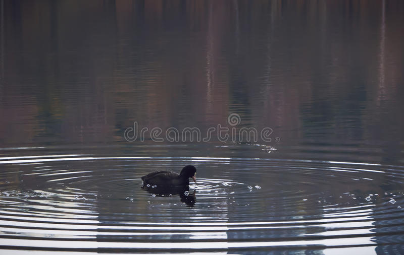 Eurasian coot centered in rings on water on a calm lake. Bird, Eurasian coot (Fulica atra), centered in rings on water on a calm lake. Reflections of an autumn royalty free stock photo