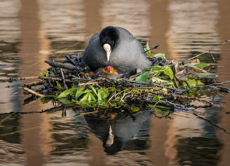 Eurasian Coot sits on her nest, looking at her newly hatched baby royalty free stock images