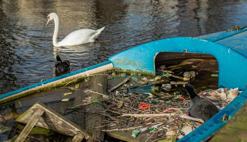 Eurasian Coot sits on a nest made of twigs and trash, in a partially sunk boat in an Amsterdam canal, while partner defends nest f stock images