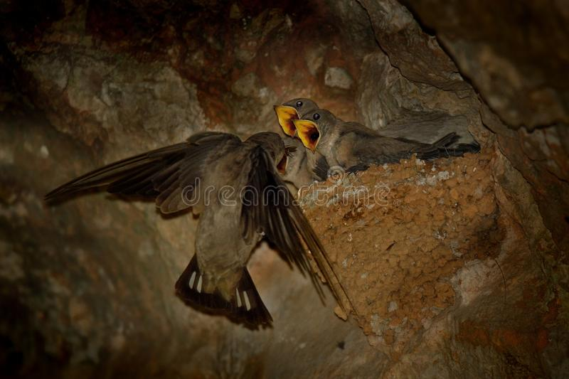 Eurasian Crag Martin - Ptyonoprogne rupestris. Nesting in the cave and feeding their youngsters stock image