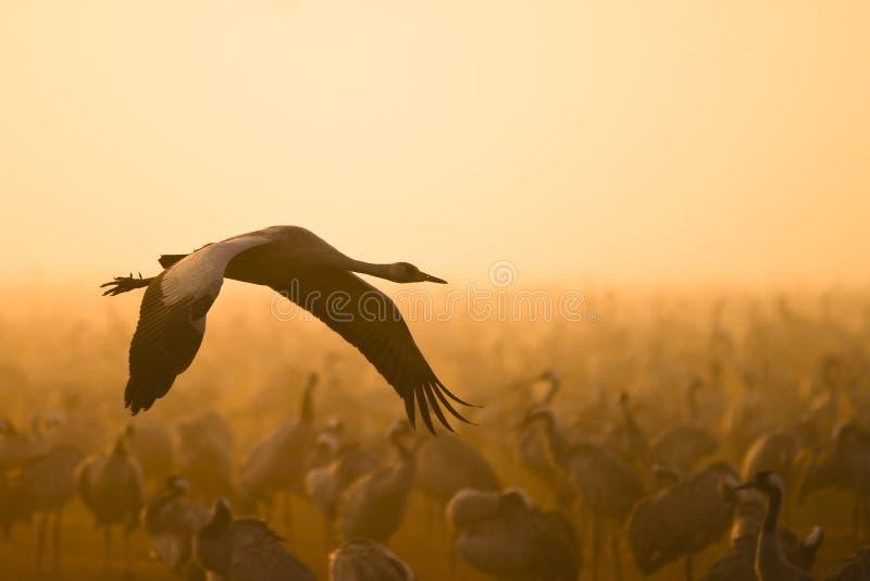 Download Eurasian crane flying stock image. Image of asia, common - 23595935