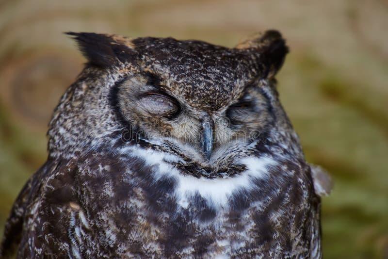 Eurasian de sono Eagle Owl foto de stock royalty free
