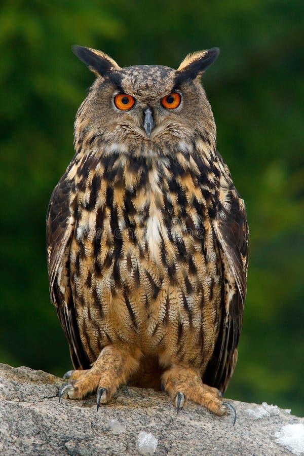 Eurasian Eagle Ow imagens de stock royalty free