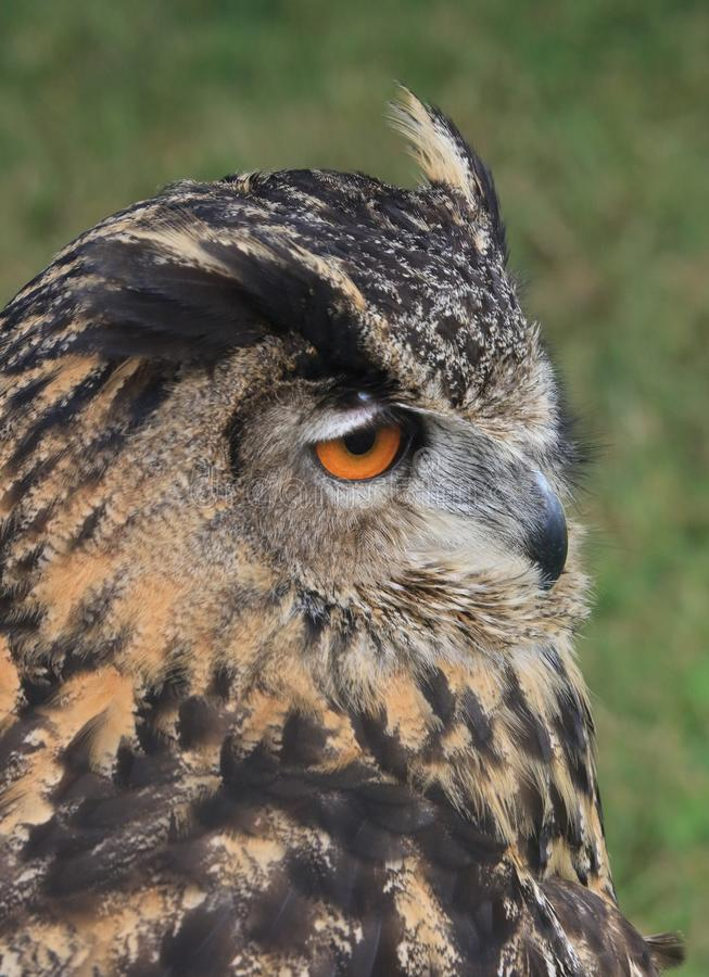 Eurasian Eagle Owl 2 immagine stock libera da diritti
