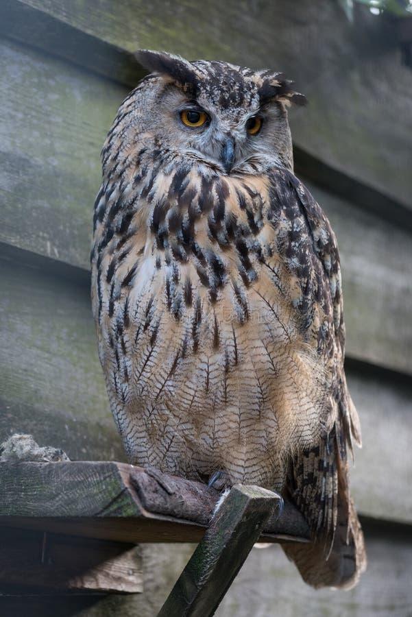 Eurasian Eagle Owl arkivbild