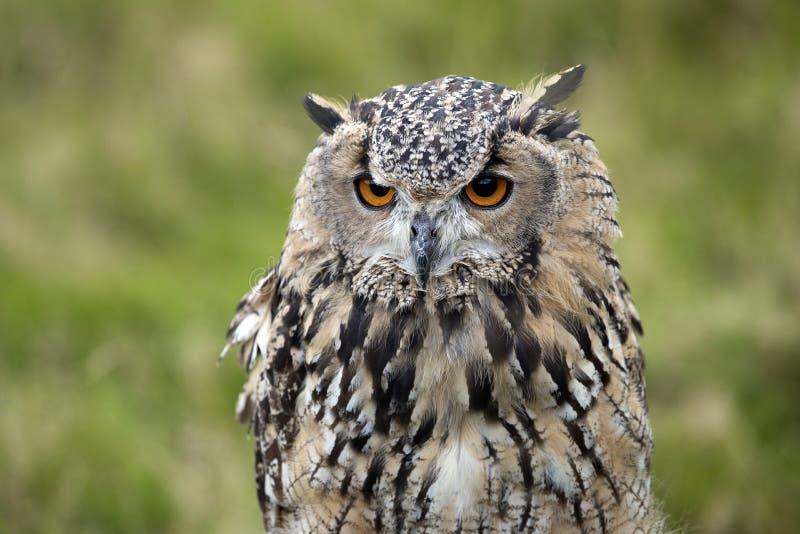 Eurasian Eagle Owl foto de stock