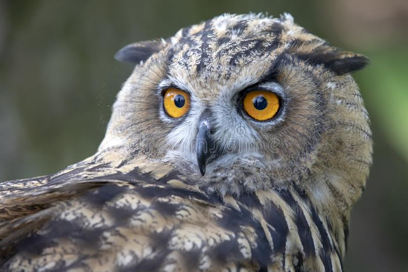 Eurasian Eagle Owl immagini stock libere da diritti