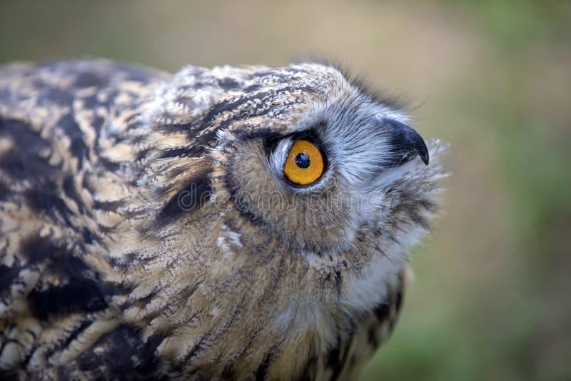 Eurasian Eagle Owl fotos de stock