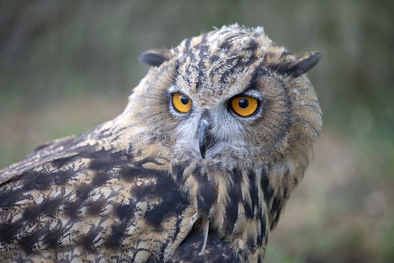 Eurasian Eagle Owl imagens de stock royalty free