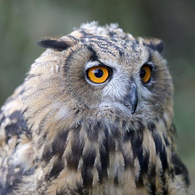 Eurasian Eagle Owl foto de stock royalty free