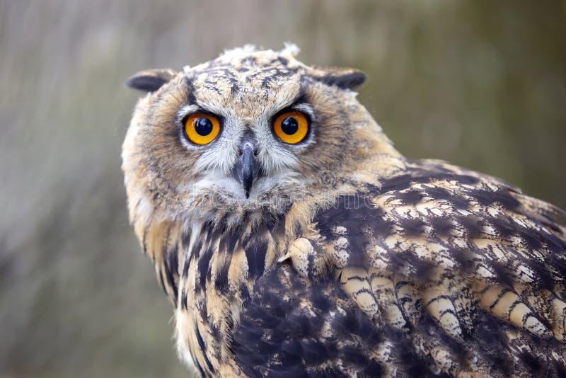 Eurasian Eagle Owl imagem de stock royalty free