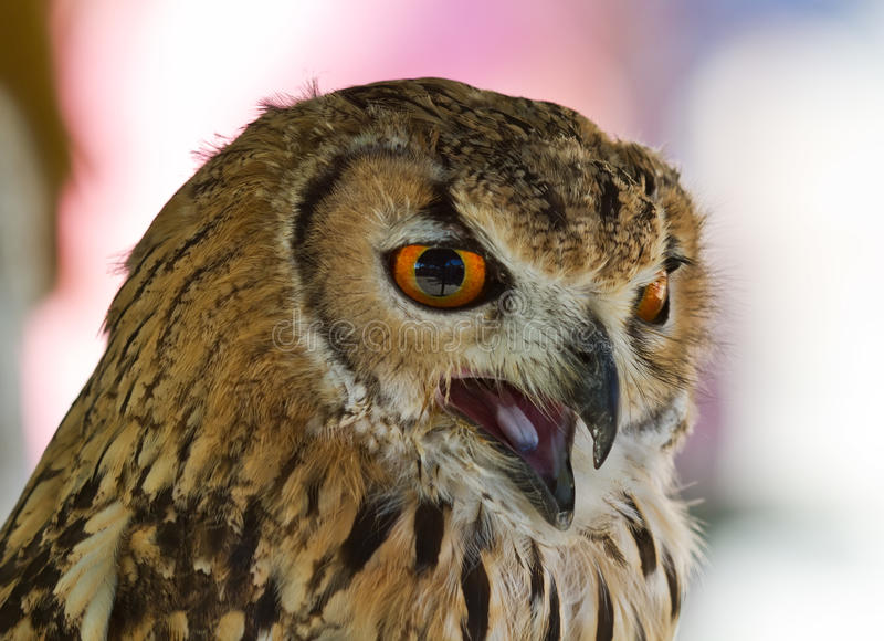 Download Eurasian Eagle-owl stock image. Image of feathers, animal - 19079949