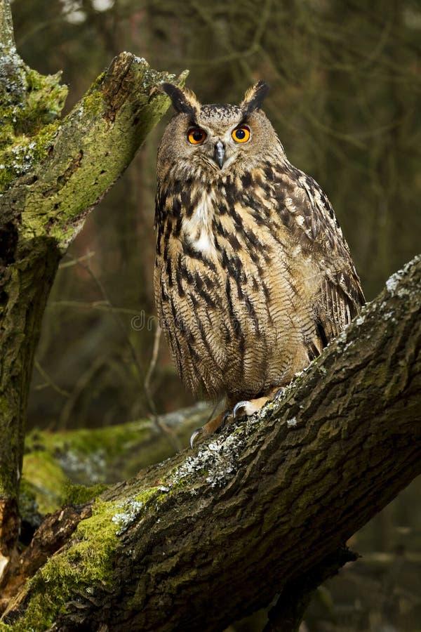 Free Eurasian Eagle Owl Stock Photo - 19339850