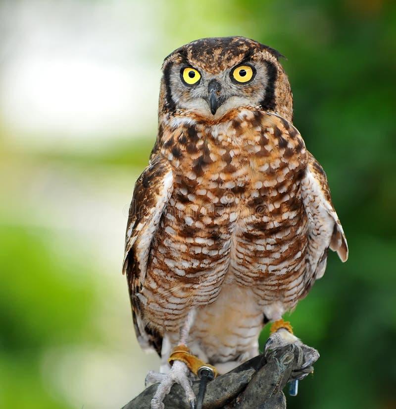 Download Eurasian Eagle Owl stock photo. Image of penetrating - 21074130