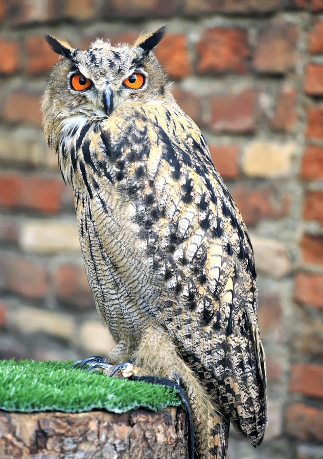 Download Eurasian Eagle Owl stock image. Image of orange, beak - 21602981