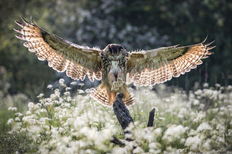 Eurasian Eagle Owl immagini stock
