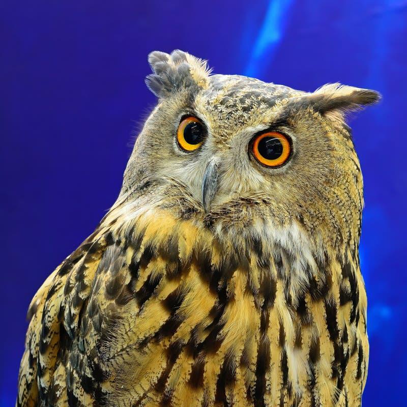 Eurasian Eagle Owl immagine stock libera da diritti