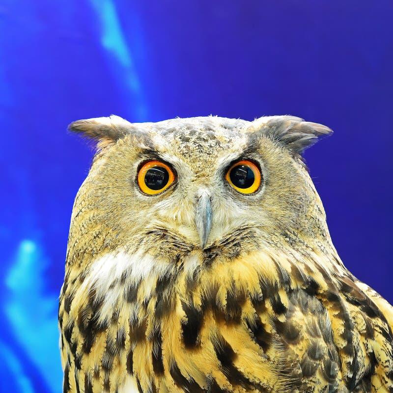 Eurasian Eagle Owl fotografie stock libere da diritti