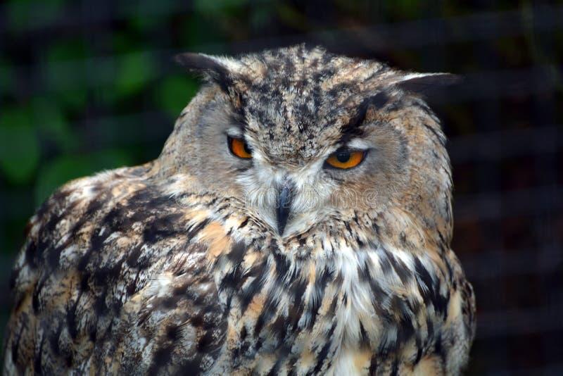 Eurasian Eagle Owl royaltyfria bilder