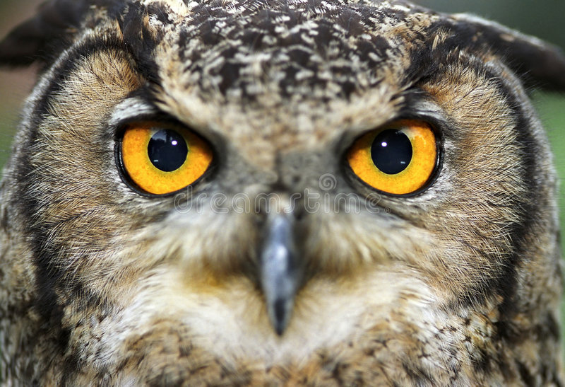 Download Eurasian Eagle Owl stock image. Image of beast, carnivores - 454645