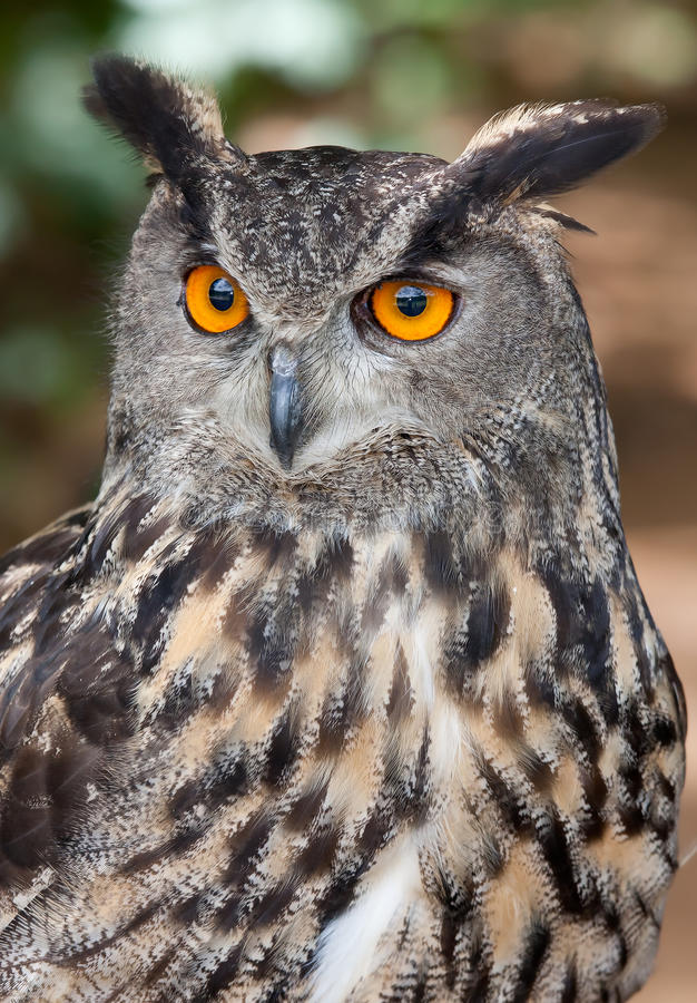 Eurasian Eagle Owl arkivfoton