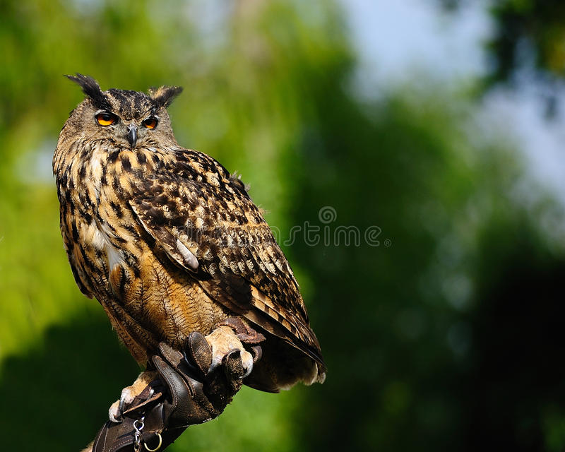 Eurasian Eagle-owl (Bubo bubo) royalty free stock photography