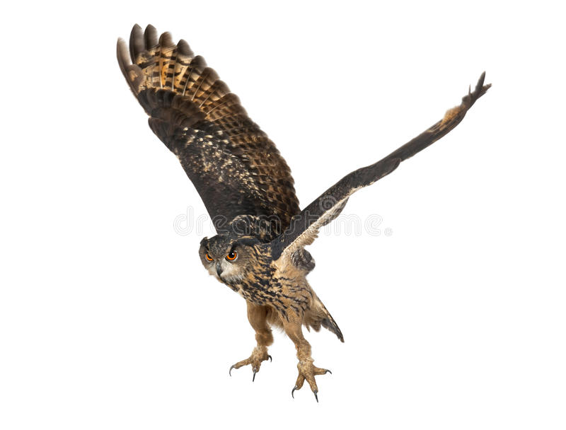 Eurasian Eagle-Owl, Bubo bubo, 15 years old royalty free stock photos