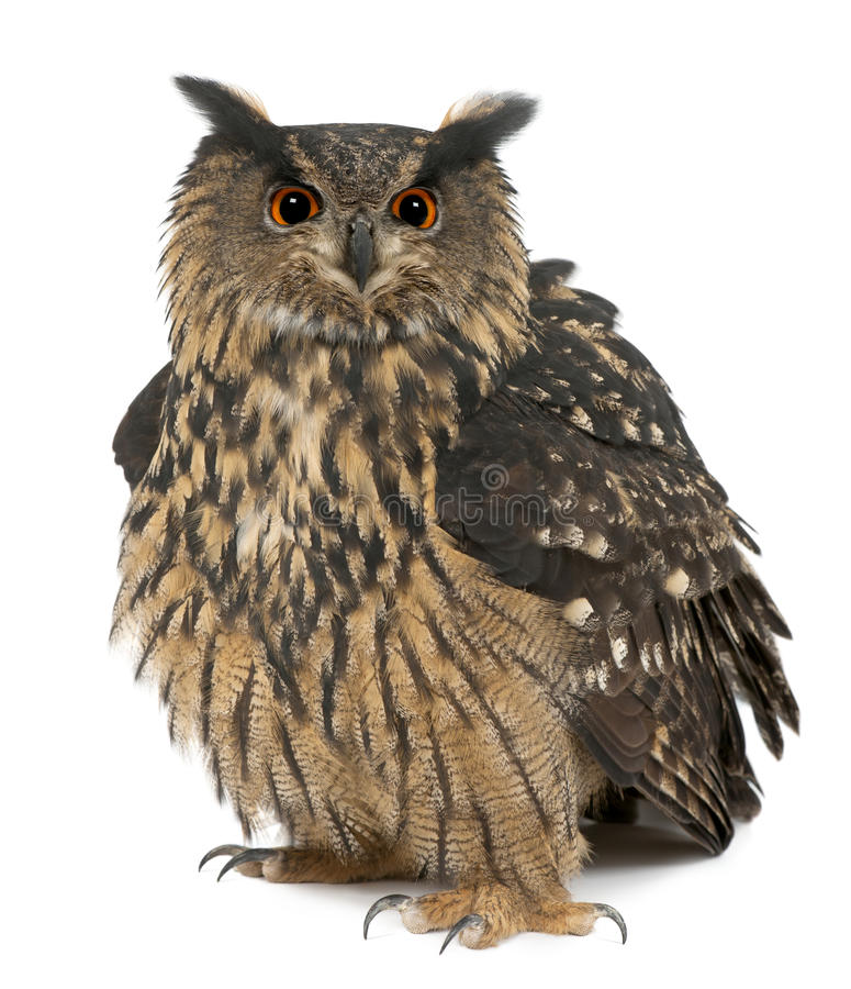 Free Eurasian Eagle-Owl, Bubo Bubo, 15 Years Old Stock Photography - 25101842
