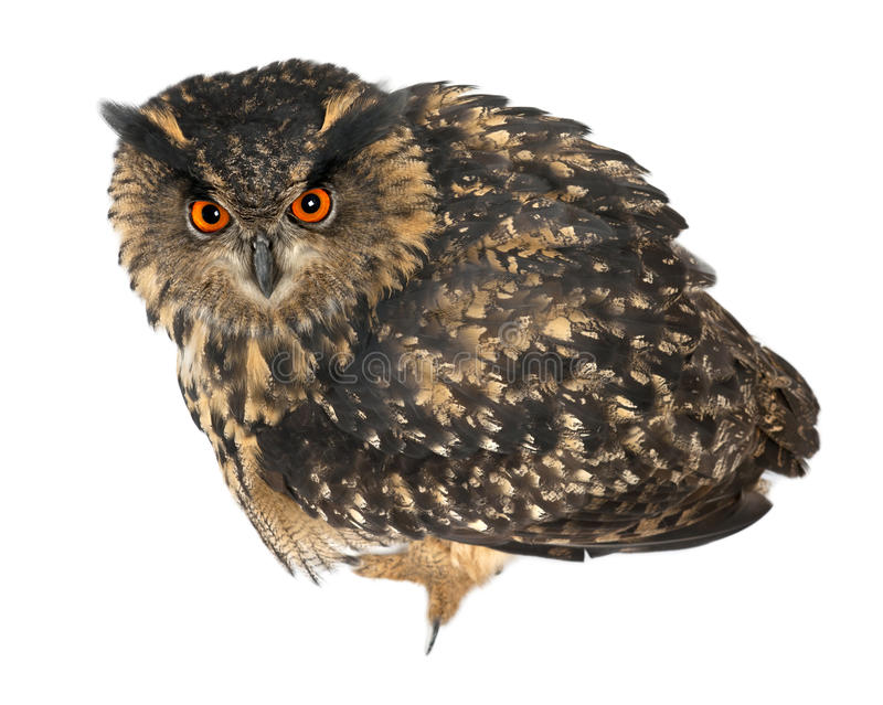 Eurasian Eagle-Owl, Bubo Bubo, 15 Years Old Stock Photography