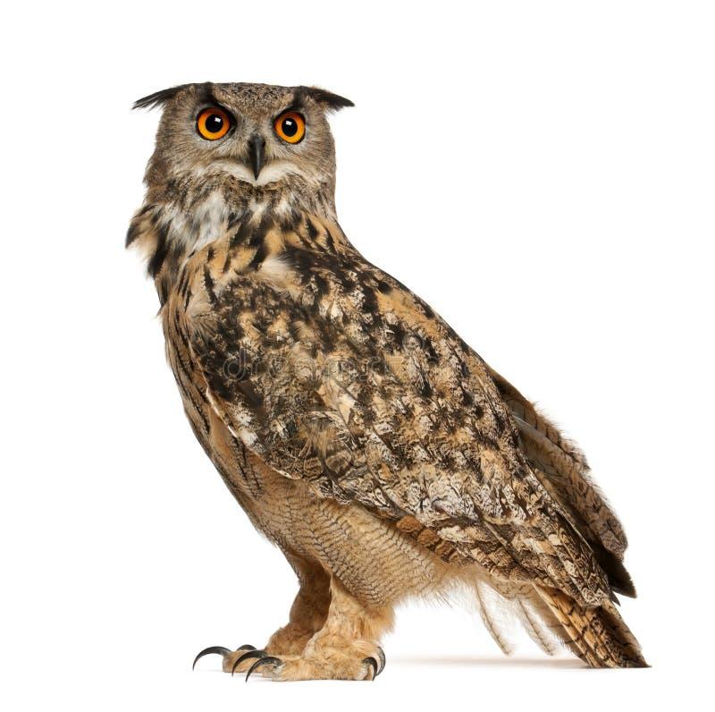 Free Eurasian Eagle-Owl, Bubo Bubo Stock Photo - 24708740