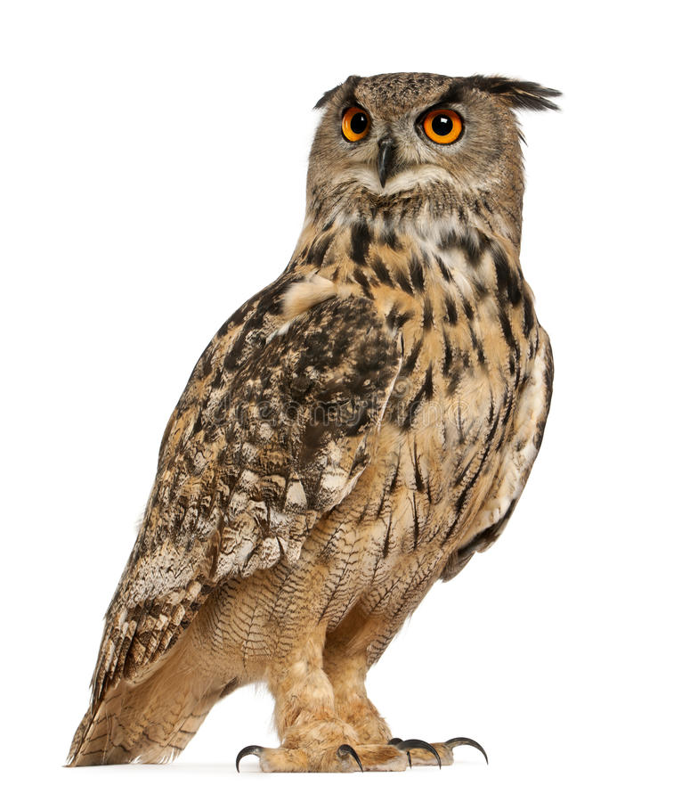 Eurasian Eagle-Owl, Bubo bubo royalty free stock photography