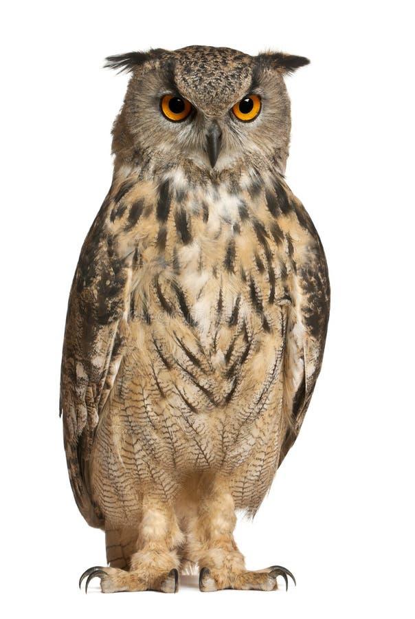 Free Eurasian Eagle-Owl, Bubo Bubo Royalty Free Stock Images - 24991529