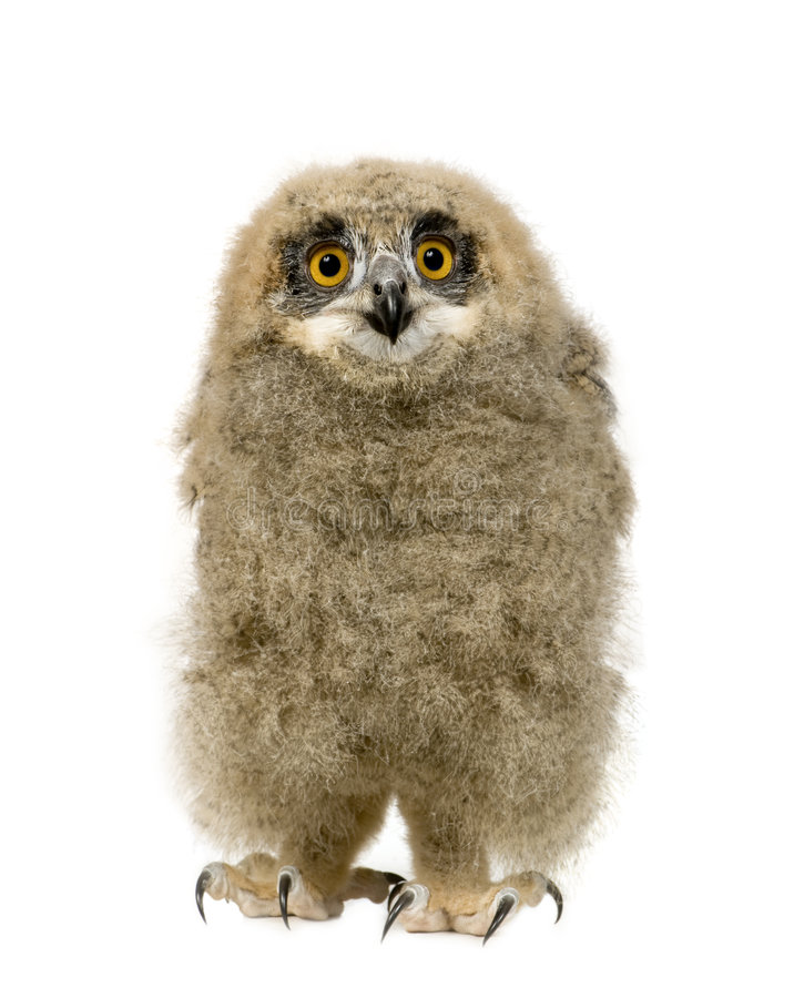 Free Eurasian Eagle Owl - Bubo Bubo (6 Weeks) Stock Photography - 5632972