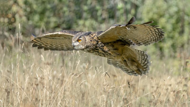 Eurasian Eagle owl (Bubo bubo) flying low above the grass. Noord Brabant in the Netherlands. royalty free stock images
