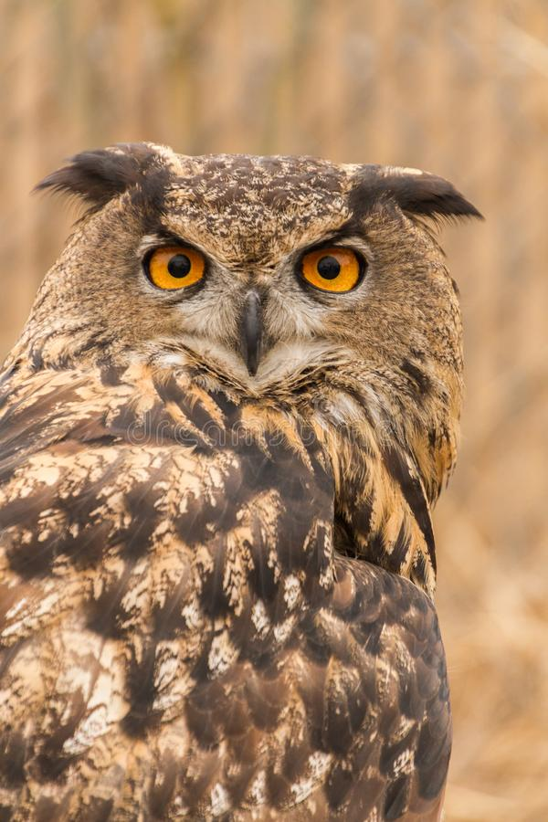 Eurasian Eagle Owl Bubo Bubo i fångenskap, falkenerarkonst royaltyfri foto