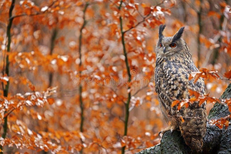 Eurasian Eagle Owl, Bubo Bubo, sittande trädkoffert, viltlevande fallfoto i skogen med orangefärgade höstfärger, Tyskland Hösten arkivfoton