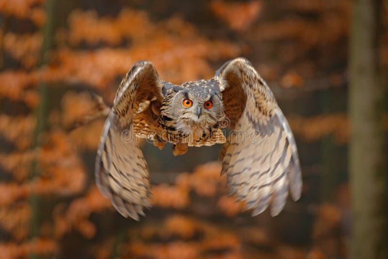 Eurasian Eagle Owl, Bubobubo, med ?ppna vingar i flykten, skoglivsmilj? i bakgrund, orange h?sttr?d Djurlivplats fr?n arkivfoton