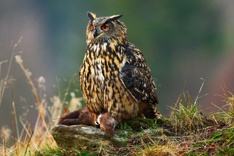 Eurasian Eagle Owl che si siede sulla pietra con la martora di marrone di uccisione durante l'autunno arancio Bello Eagle con l'u immagine stock