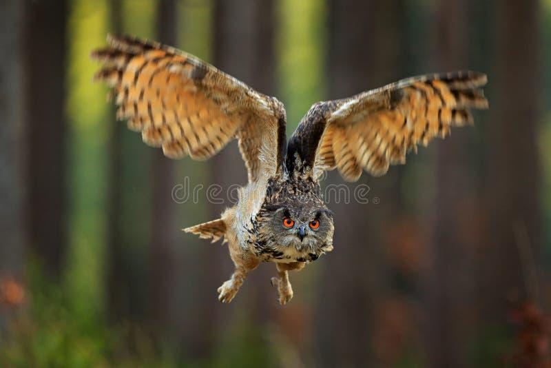 Eurasian Eagle Owl con le ali aperte, scena di volo della fauna selvatica di azione dalla natura, Germania Foresta scura con l'uc fotografie stock